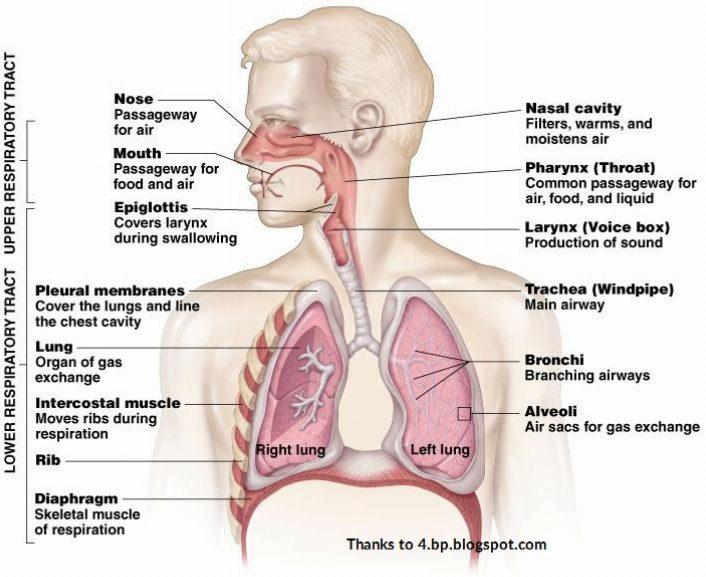 Pranayama Human Respiratory System Diagram Introduction To
